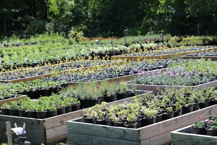 Perennials and shrubs in one gallon containers. Plants are placed inside wooden garden boxes.