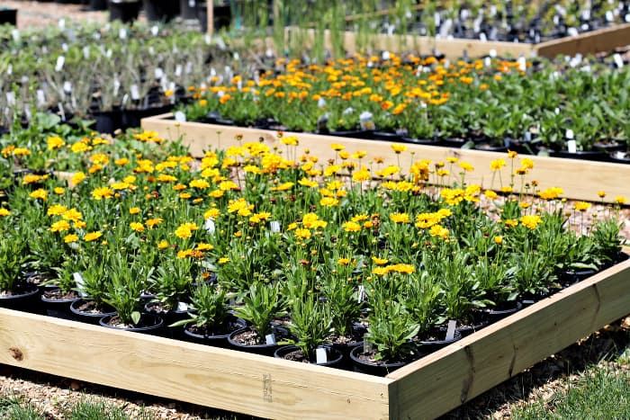 Yellow flower Coreopsis perennial plants in one gallon containers inside wooden box. In the background there are a variety of perennials in containers