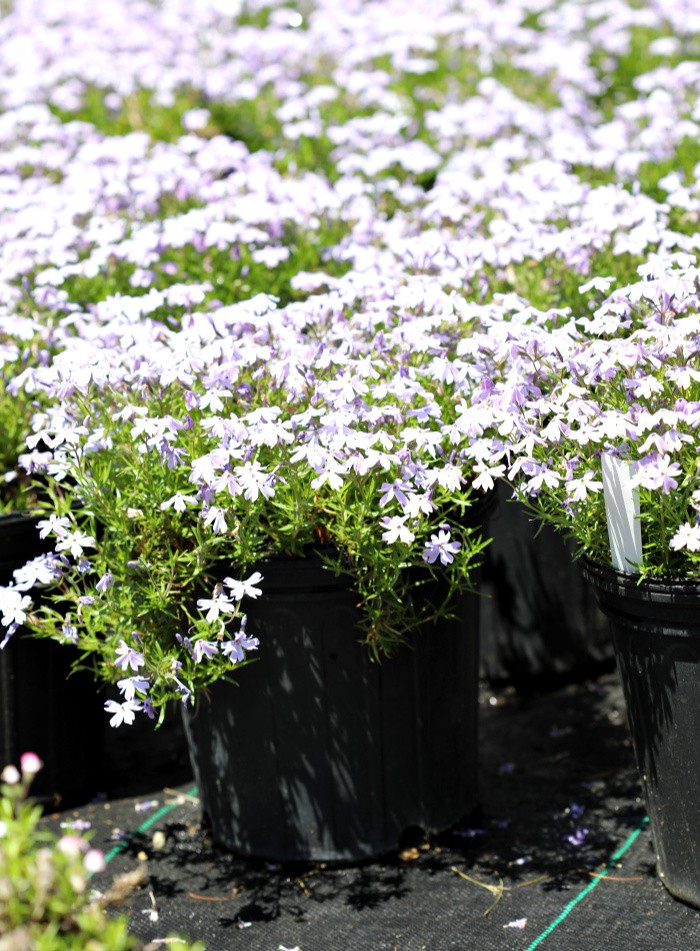 Creeping Phlox with tons of bright purple flowers in black two gallon nursery containers.