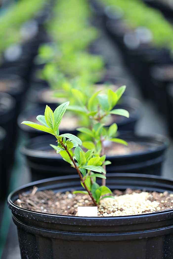small shrub liner with green foliage in a 3 gallon nursery container filled with potting mix.