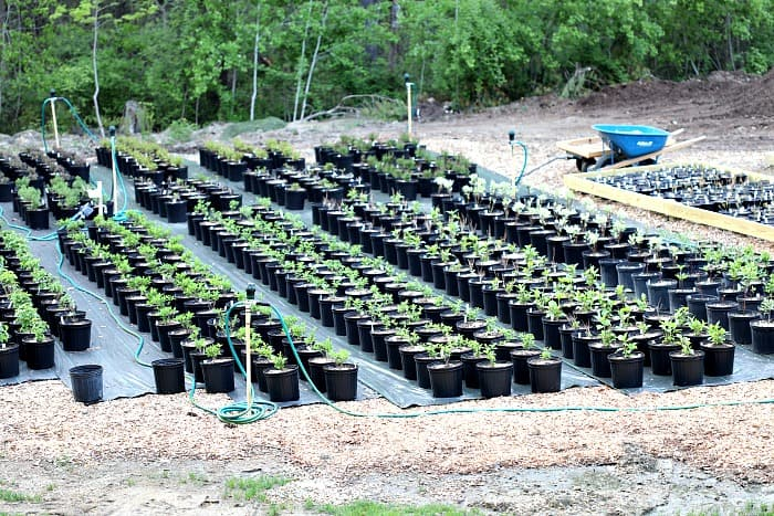 hundreds of green baby plants potted up in black plastic pots on top of black nursery mat.