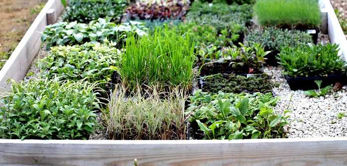 hundreds of small perennial plugs in trays on the ground inside a large wooden garden box