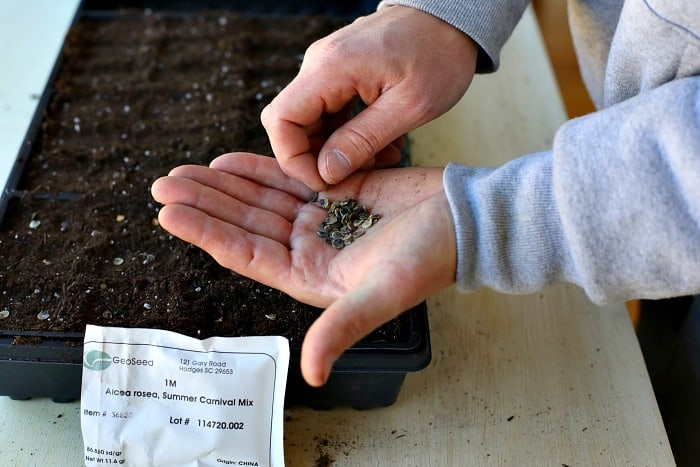 man holding seeds in the palm of his hand and using his right hand to pick a seed up one at a time and sow in potting mix