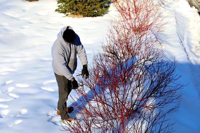 man pruning bright red hardwood cuttings from a dogwood shrub in winter