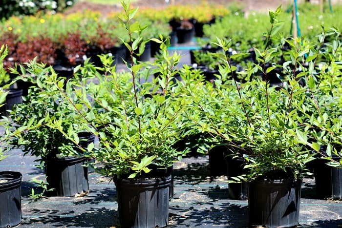 green leaf shrubs in black plastic pots.