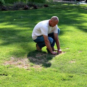 man testing for grubs by grabbing lawn