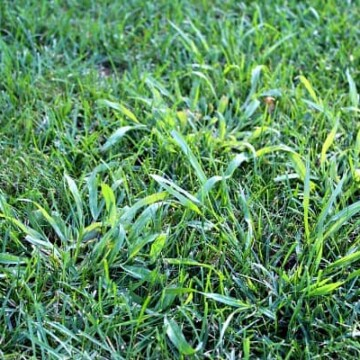 how to kill crabgrass in lawn using pre emergents and post emergent herbicides