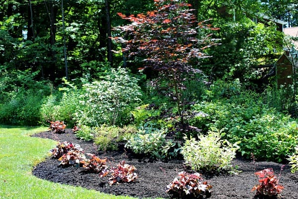 shade garden bed with red plants in border and tall red maple as focal point