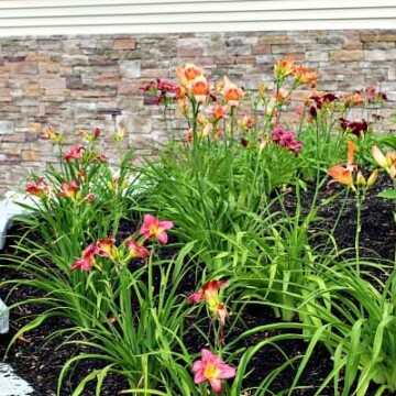 orange and purple daylilies maintained and cared for in garden bed