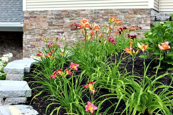A bunch of orange and purple daylilies in two rows on top of a retaining wall.