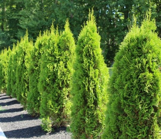 emerald green arborvitaes protected from winter burn