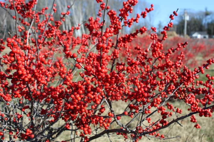 Bright, dense, red berries on brown stems of winterberry shrub