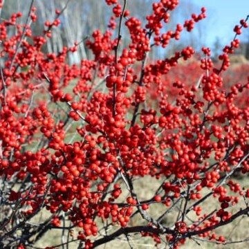 winterberry shrub with bright red berries