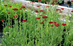 bright red colored yarrow flowers with fern like foliage