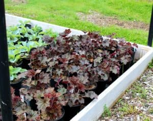 maroon colored coral bells foliage