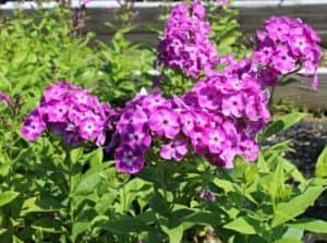 purple garden phlox with green foliage