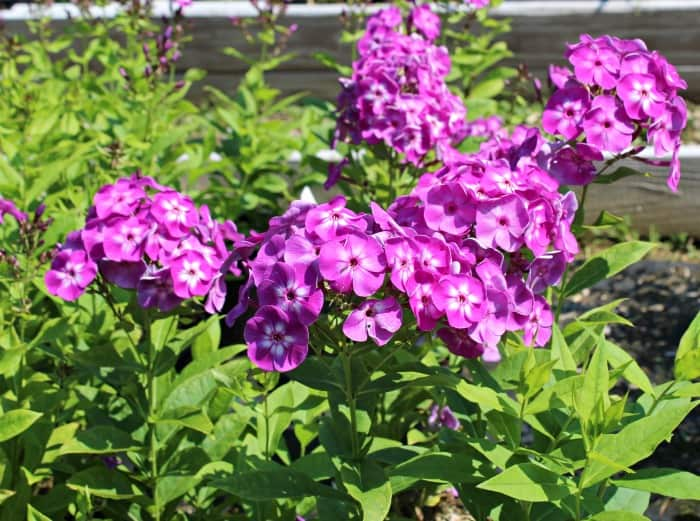 purple garden phlox flowers with green foliage