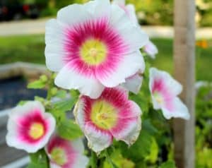 pink and white hollyhock flower with yellow eye