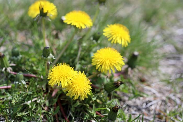 how to kill dandelions in green lawn