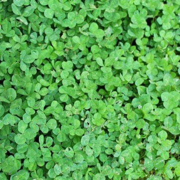white clover in a lawn