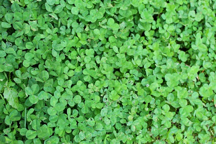 How To Kill Clover Plant For Success