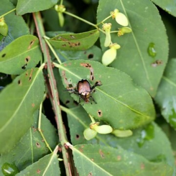 Japanese Beetle eating leaf and causing damage