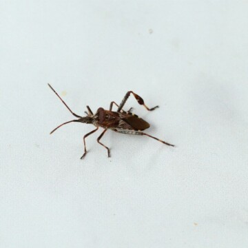 The Conifer Seed Bug is a brown insect with antennae and long hind legs