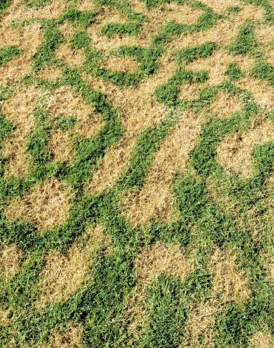 Bermuda lawn entering dormancy and has a crazy twister pattern to it