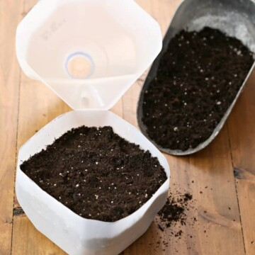 filling milk jug with potting mix to winter sow seeds