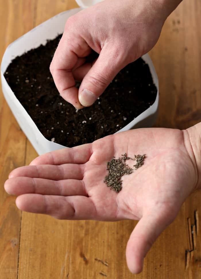 sowing seeds in milk jug using fingers