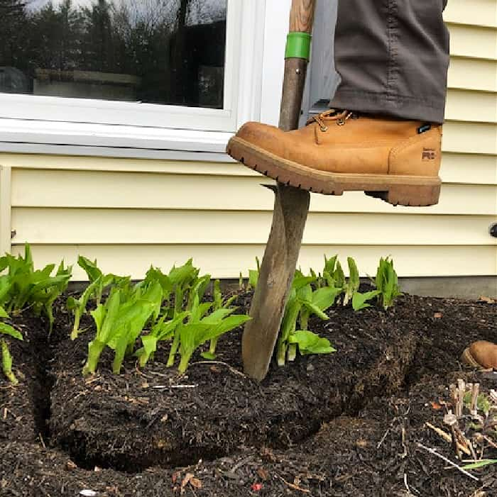 man using foot to push edging shovel into clump of hostas to divide them