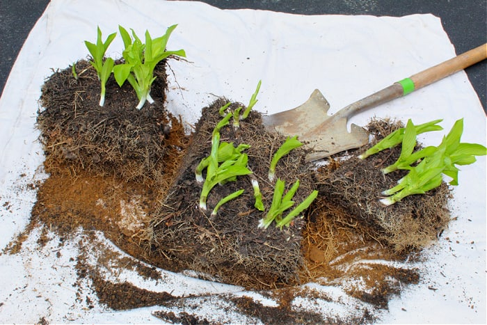 hosta divided into sections with edging shovel in background