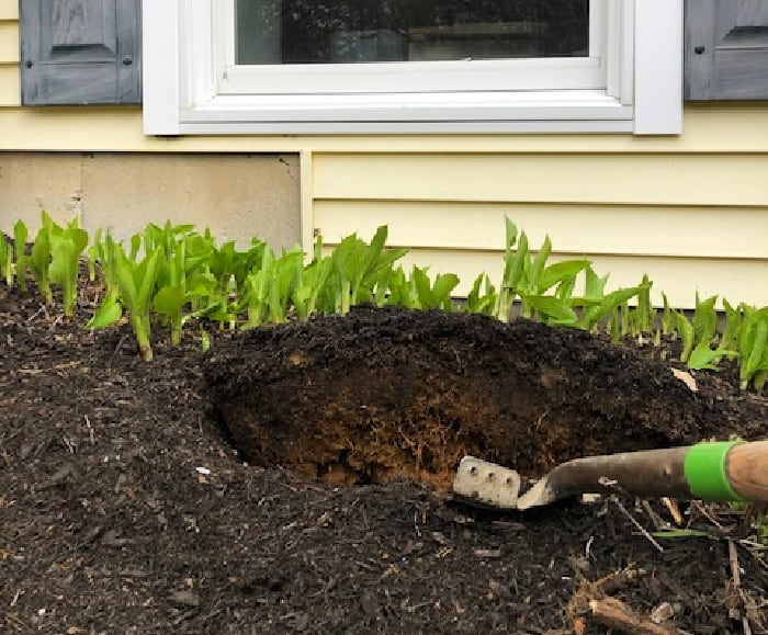 prying hosta up with shovel
