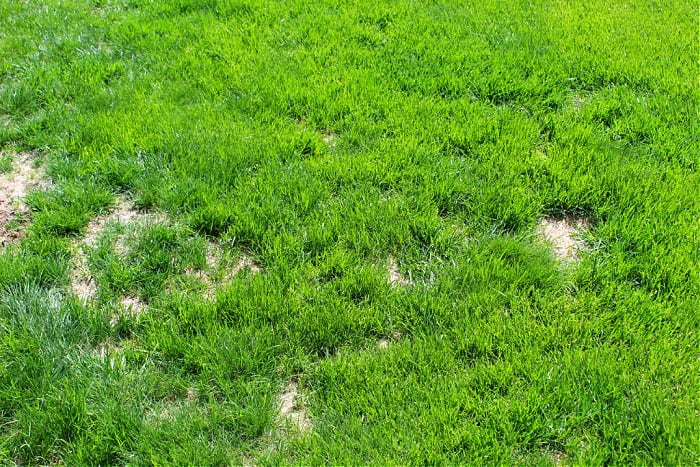 brown patches of lawn fungus in a green lawn