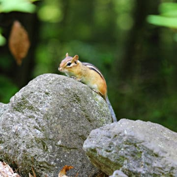 chipmunk sitting on top of a rock in the woods