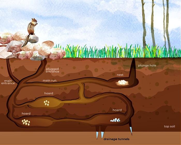 diagram of chipmunk tunnel system